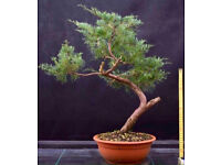 Quality Juniper Ready For Styling into Bonsai
