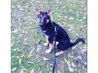German Shepherd 6 months old