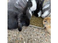 FRIENDLY full breed mini lop baby rabbits £40 READY NOW