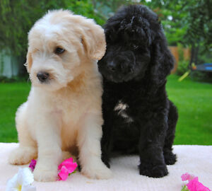 GOLDENDOODLE Ready This Weekend GOLDEN RETRIEVER POODLE DOODLE