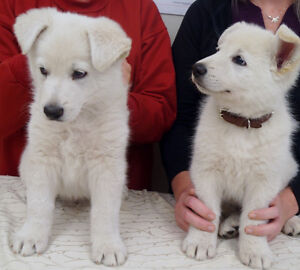 White Shepherd Puppies-Purebred/Registered-July 1-17