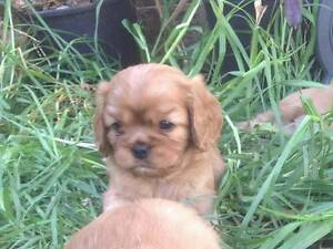 CAVALIER KING CHARLES SPANIEL PUPS RUBY M/F PEDIGREED St Arnaud Northern Grampians Preview