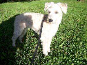 Coconut - 8 year old Schnoodle for adoption