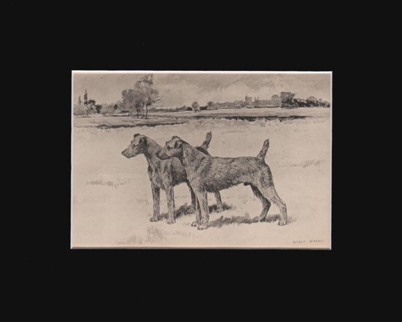 Antique BedlingtonTerrier Dogs Print  by Arthur Wardle 1897 8X10 Matted