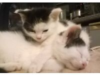 3 Black & White Kittens Ready 1st week of November