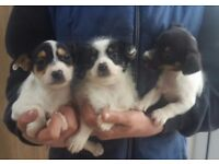 Mini rough coat jack Russell puppies