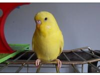 Yellow Baby Male Budgie