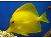 MARINE FISH / LARGE HAWAIIN YELLOW TANG