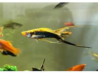 Assorted Lyretail Swordtail Tropical Fish 4 for £10
