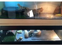 5 bearded dragons for sale