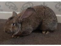 Conti Giant Rabbit