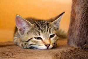 Dixie rescue kitten VET WORK INCLUDED Baldivis Rockingham Area Preview