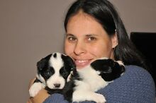 Border Collie Puppies for Sale Sedgwick Bendigo Surrounds Preview