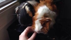 2 Male Guinea Pigs and Cage