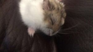 RUSSIAN DWARF HAMSTER WITH SUPPLIES