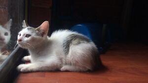 1 cute white + patchy female Kitten, $50 Hurstville Hurstville Area Preview
