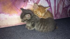 5 adorable kittens to give away Blackwood Mitcham Area Preview