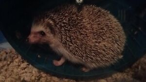 Male Hedgehog and all accessories for sale