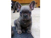 Female Blue frenchie puppy £600