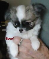 Chihuahua puppies, Gorgeous Apple Teacups     New Photos