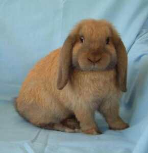 9 week only female lop bunny LAST ONE