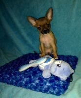 Small male Chihuahua pup For Sale