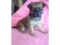 Chihuahua girl puppy last one left!!