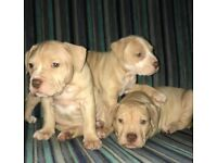 Stunning bully puppies males + females american bulldog