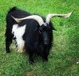 Purebred fainting Billy Goat