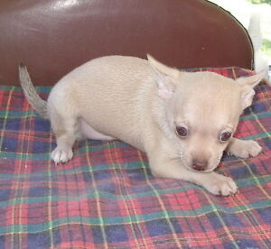 chiot chihuahua a`vendre