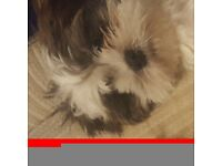 Shih tzu male 7months old