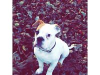 Old tyme bull dog puppy