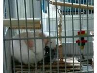 3x chinchilla plus cage and accessories