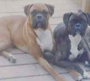 Boxer puppies Stratford Kitchener Area image 3