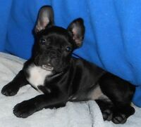 CKC FRENCH BULLDOG MALE PUPPY & ADULT FEMALE