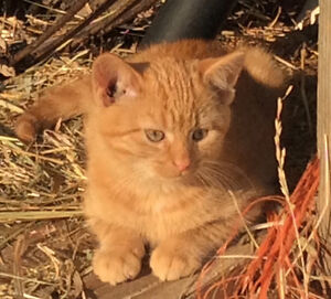 Adorable kittens looking for homes including rare orange females