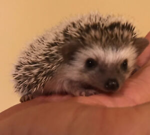 Baby Hedgehogs ready to go! No wait list! Very tame!