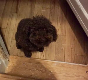 Lost brown poddle in Wellington West/Westboro area