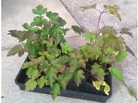 Japanese Anemone plants