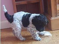 Cojapoo Jackapoo x Cocker Spaniel puppy