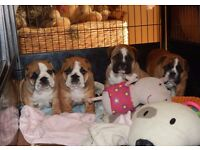 KC REG BRITISH BULLDOG PUPPIES FOR SALE