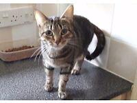 Adult female Tabby Cat