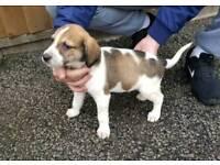 Beagles cross King Charles puppies