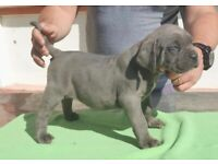 Stunning blue and black Cane Corso puppies