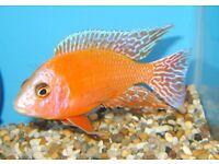 Fish malawi firefish cichlid 3.5 inch