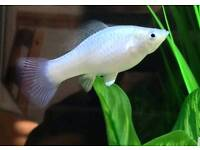 Mollies, lovely tropical fish