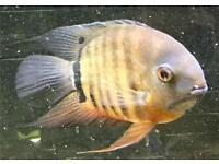 Severum Cichlid Tropical Fish for Aquarium