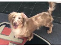 Minature (long coat) dachshund puppies