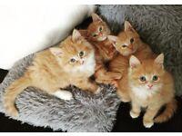 4 ginger kittens
