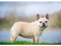 Exceptional KC reg French Bulldog puppies